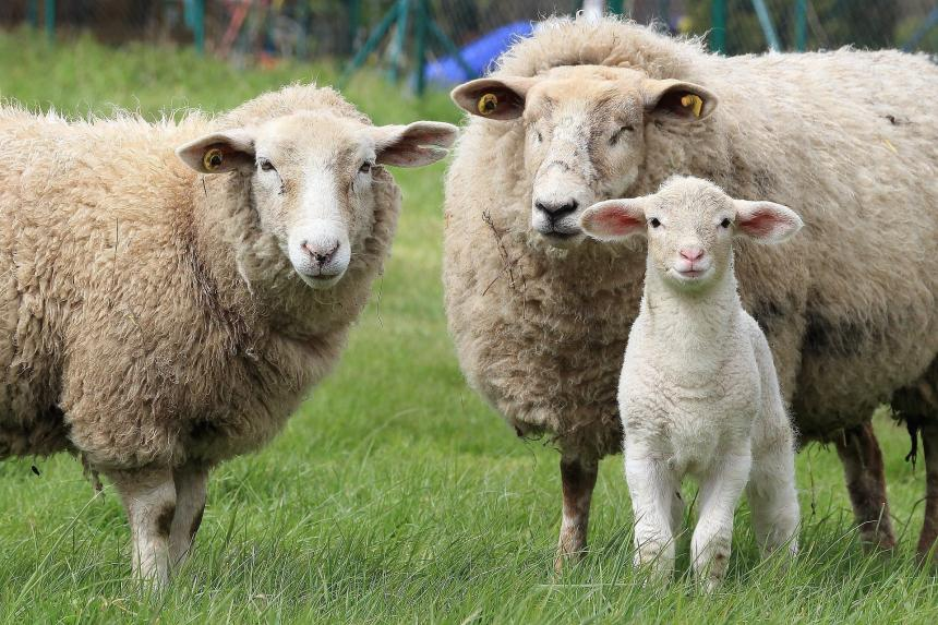 Schapen   Animal Rights
