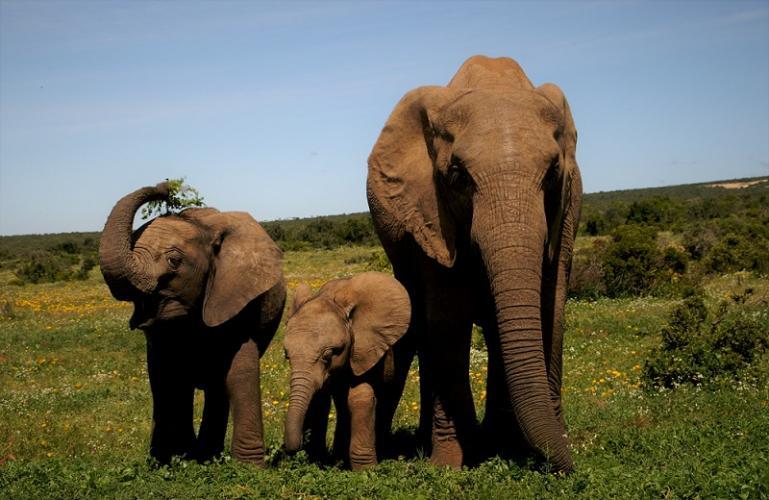 Onder de druk van jacht en stroperij verliezen olifanten hun slagtanden.