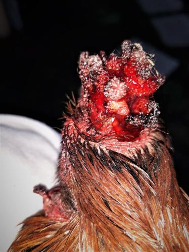 Een gewonde haan, net bevrijd uit de kooi.