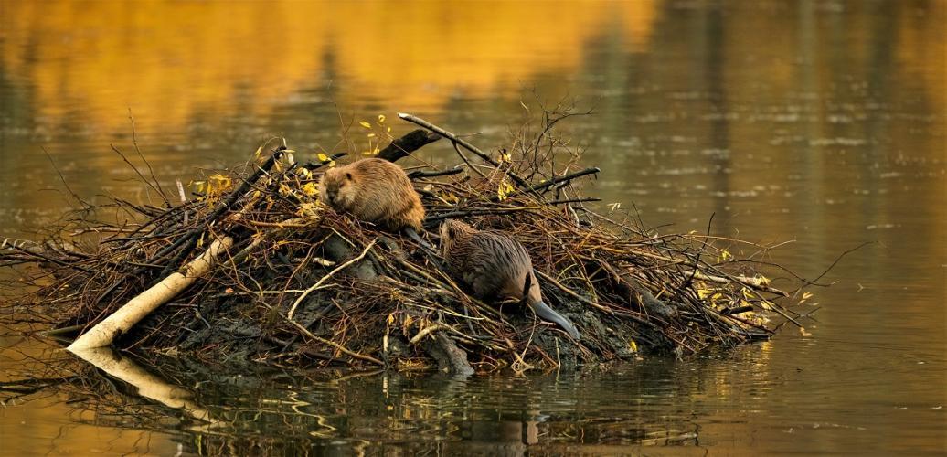 Ook andere dieren graven in dijken. Preventieve maatregelen beschermen tegen álle graafschade.