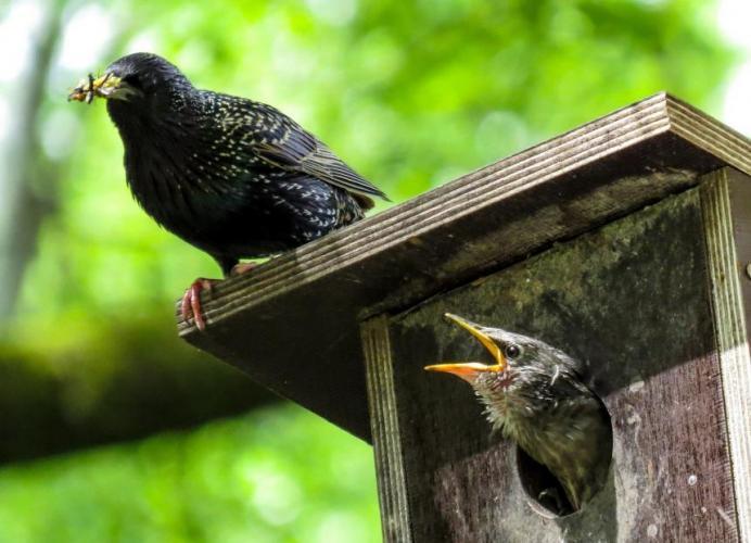 Spreeuwen uit nest halen mag niet.