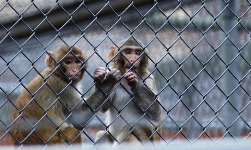 Apen zijn het slachtoffer van dodelijke experimenten