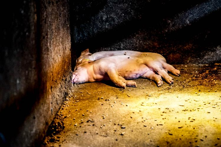 Animal Rights laat het confronterende dierenleed zien in stallen en slachthuizen.