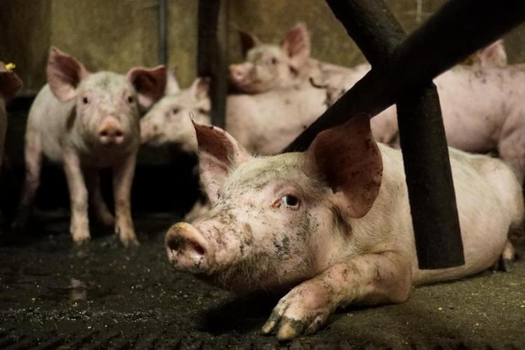 Het zijn vooral varkenshouders die pleiten voor intensieve klopjachten op zwijnen.