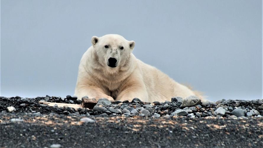 Er zijn Belgische jagers die ijsberen hebben doodgeschoten.
