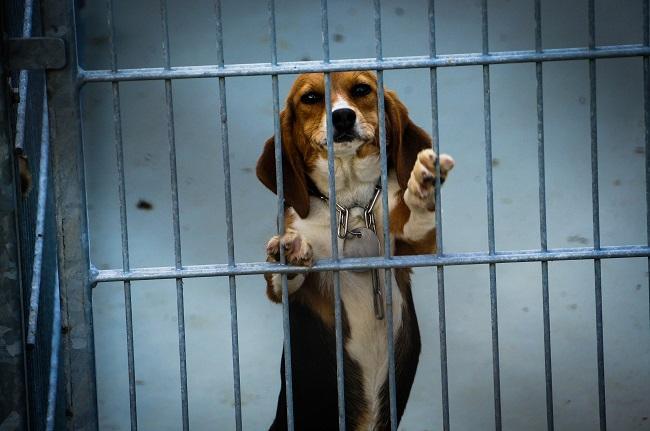 Deze beagle is gebruikt in een dodelijk giftigheidsexperiment