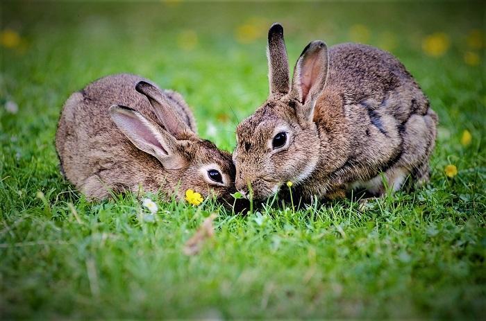 In 2018 stierven er 6.549 konijnen in het Brabantse jachtseizoen.