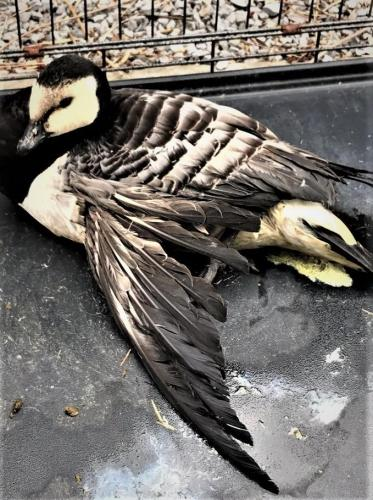 In Reeuwijk worden na de jacht veel gewonde dieren aangetroffen.