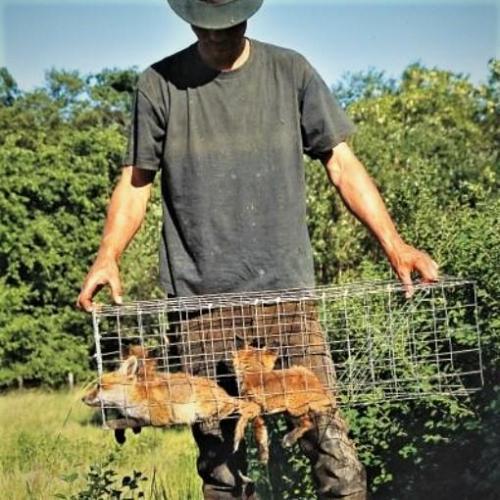 Jonge vossen, gevangen in een kooi.