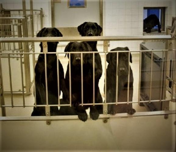 Labradors opgesloten in het laboratorium