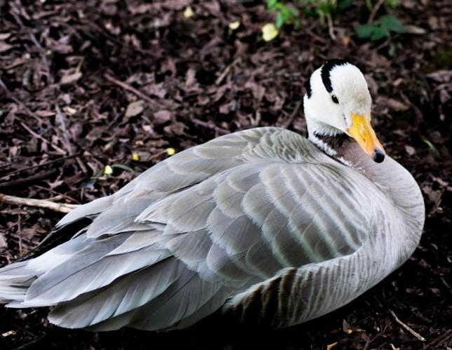 Indische gans, schaarse broedvogel en een klein aantal in de winter.