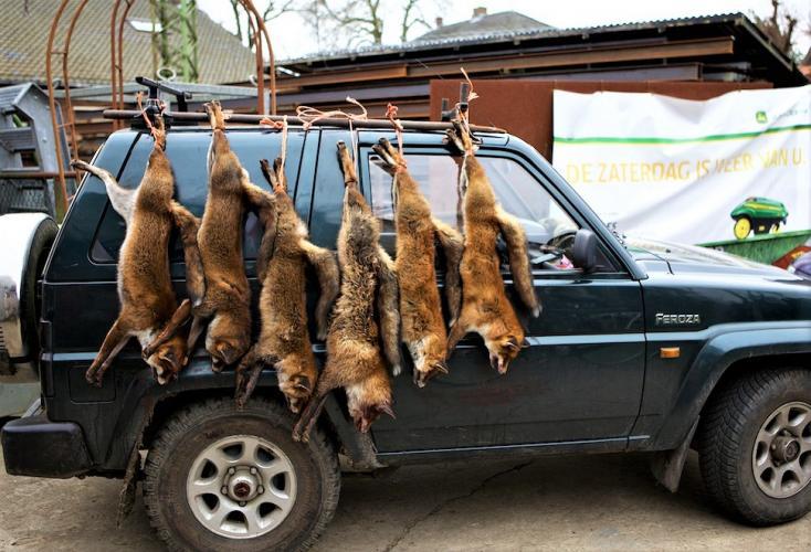 Animal Rights wil een verbod op de vossenjacht.