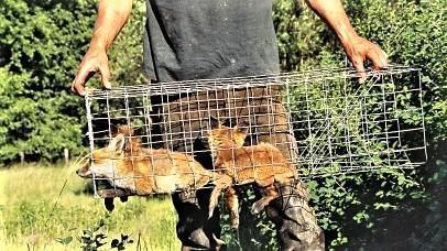 Jonge vosjes in een kooival.