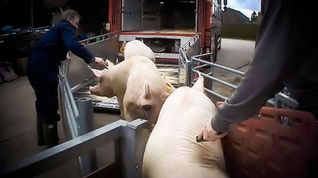 Varkens worden op transport gezet
