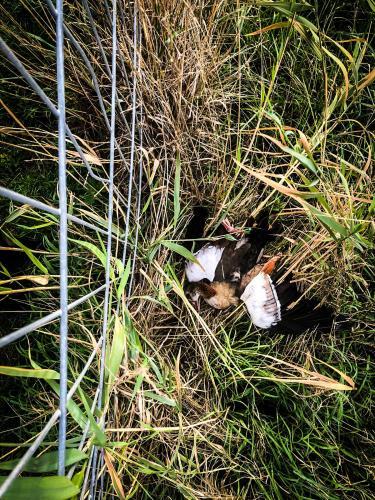 Deze geschoten Nijlgans werd vele meters van de jachtpartij aangetroffen in het veld.