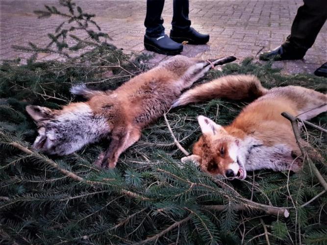 Beelden Animal Rights: na een drijfjacht.